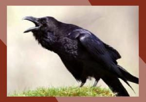 corvo-01